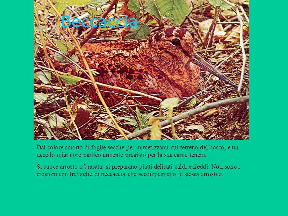 Beccaccia Dal colore smorto di foglie secche per mimetizzarsi sul terreno del bosco, è un uccello migratore particolarmente pregiato per la sua carne tenera.