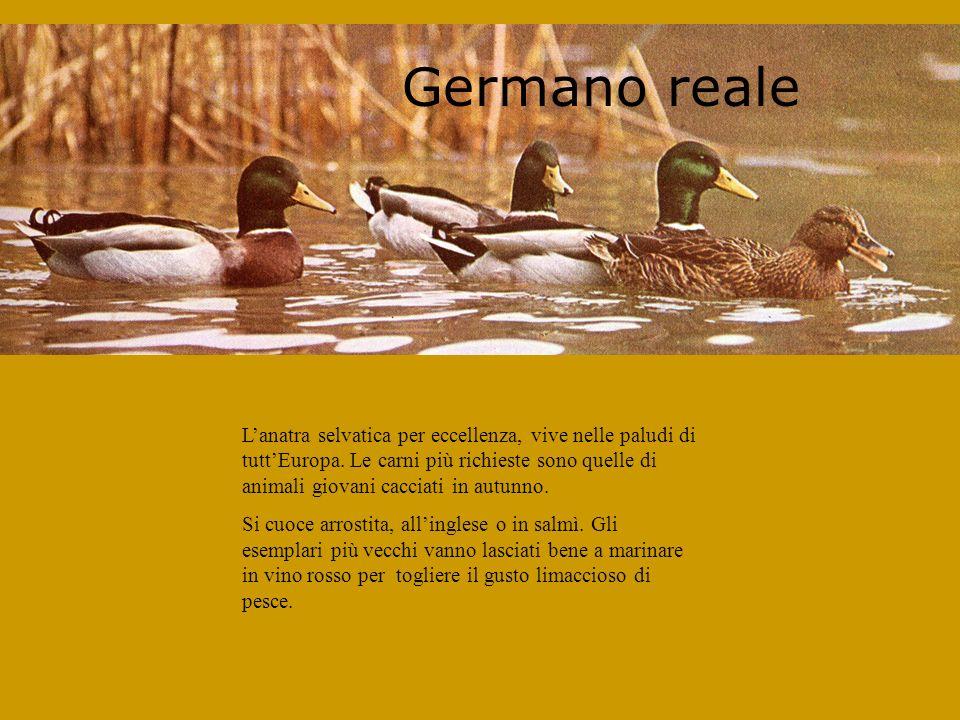 Germano reale Lanatra selvatica per eccellenza, vive nelle paludi di tuttEuropa.