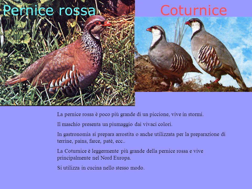 Pernice rossaCoturnice La pernice rossa è poco più grande di un piccione, vive in stormi.