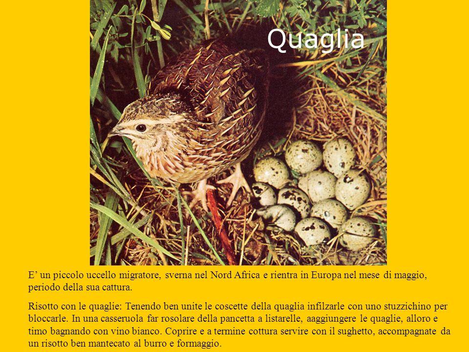 Quaglia E un piccolo uccello migratore, sverna nel Nord Africa e rientra in Europa nel mese di maggio, periodo della sua cattura.