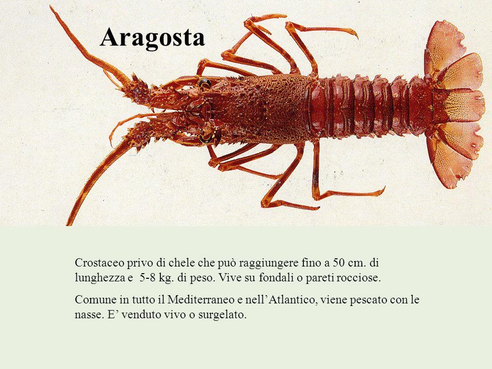 Aragosta Crostaceo privo di chele che può raggiungere fino a 50 cm. di lunghezza e 5-8 kg. di peso. Vive su fondali o pareti rocciose. Comune in tutto