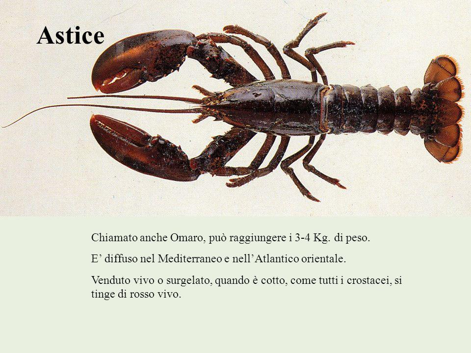 Astice Chiamato anche Omaro, può raggiungere i 3-4 Kg. di peso. E diffuso nel Mediterraneo e nellAtlantico orientale. Venduto vivo o surgelato, quando
