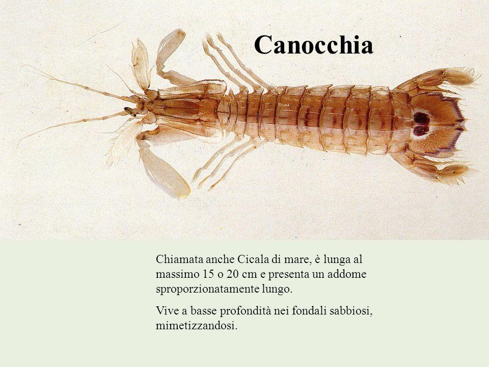 Canocchia Chiamata anche Cicala di mare, è lunga al massimo 15 o 20 cm e presenta un addome sproporzionatamente lungo. Vive a basse profondità nei fon