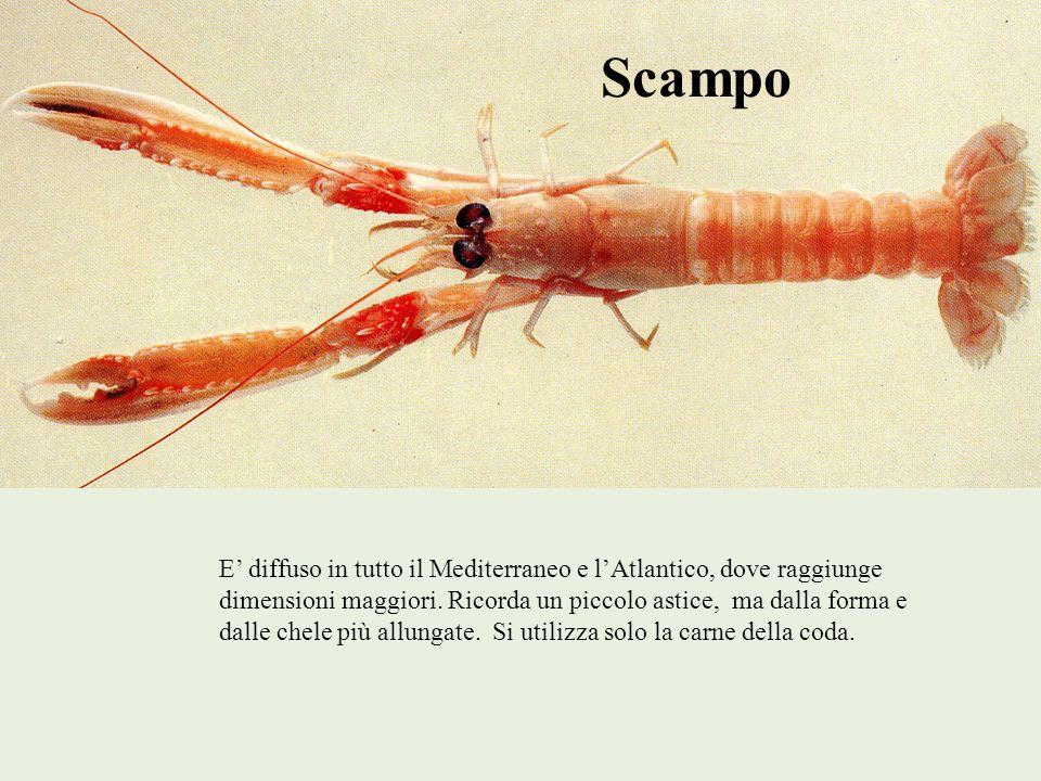 Scampo E diffuso in tutto il Mediterraneo e lAtlantico, dove raggiunge dimensioni maggiori. Ricorda un piccolo astice, ma dalla forma e dalle chele pi