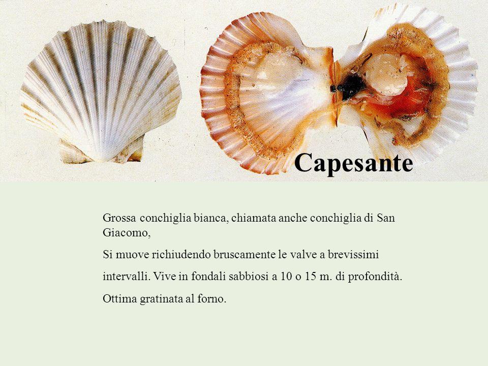 Capesante Grossa conchiglia bianca, chiamata anche conchiglia di San Giacomo, Si muove richiudendo bruscamente le valve a brevissimi intervalli. Vive