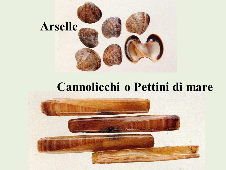 Arselle Cannolicchi o Pettini di mare
