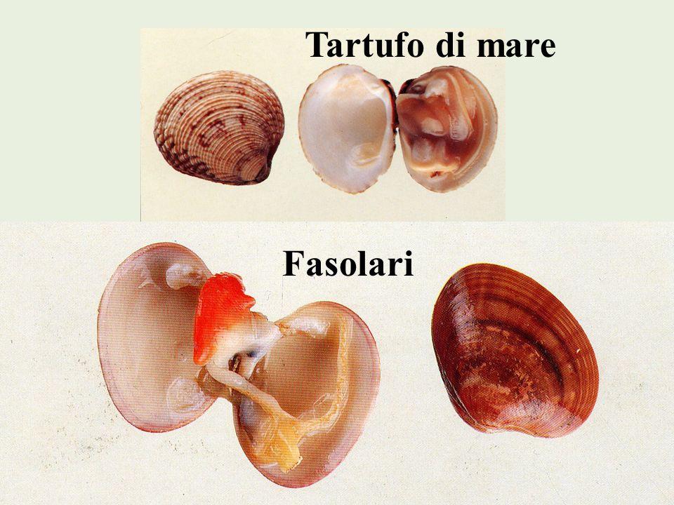 Scampo E diffuso in tutto il Mediterraneo e lAtlantico, dove raggiunge dimensioni maggiori.
