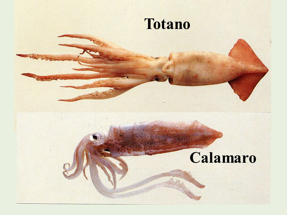 Polipo Chiamato anche Polpo o Piovra, è comunissimo nel Mediterraneo e può raggiungere fino ai 20 Kg.