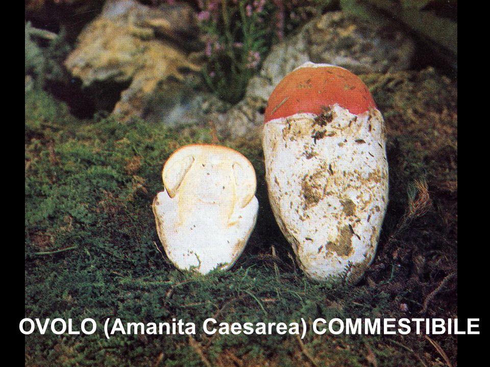 OVOLO (Amanita Caesarea) COMMESTIBILE
