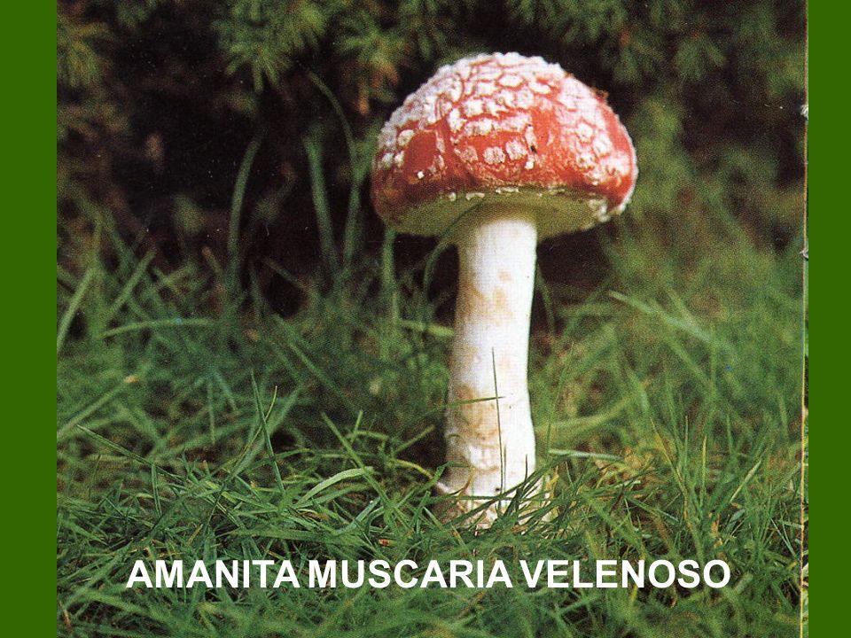 AMANITA MUSCARIA VELENOSO