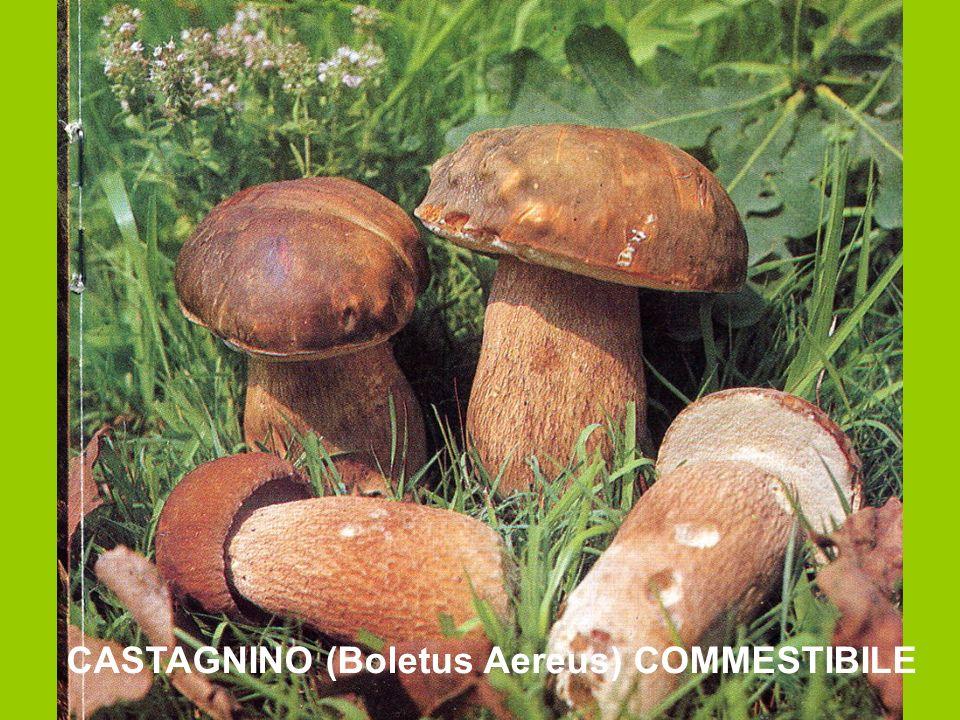 CASTAGNINO (Boletus Aereus) COMMESTIBILE