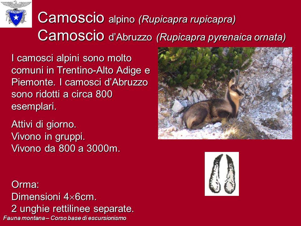 Camoscio alpino (Rupicapra rupicapra) Camoscio dAbruzzo (Rupicapra pyrenaica ornata) I camosci alpini sono molto comuni in Trentino-Alto Adige e Piemo