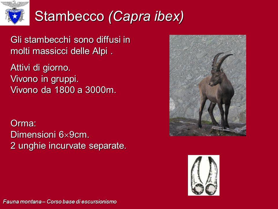 Stambecco (Capra ibex) Gli stambecchi sono diffusi in molti massicci delle Alpi. Attivi di giorno. Vivono in gruppi. Vivono da 1800 a 3000m. Orma: Dim