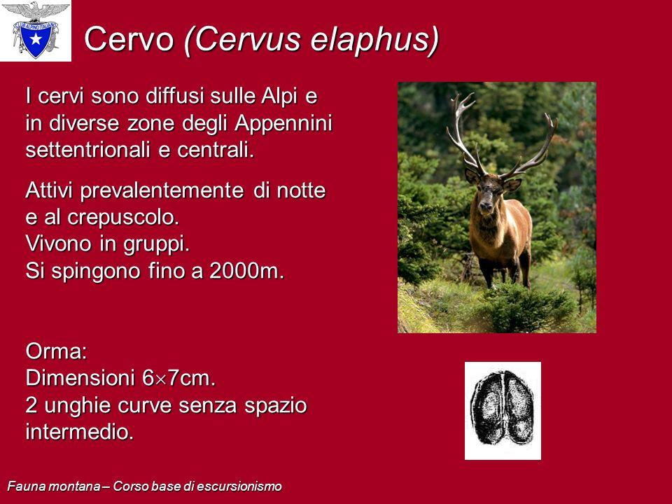 Cervo (Cervus elaphus) I cervi sono diffusi sulle Alpi e in diverse zone degli Appennini settentrionali e centrali. Attivi prevalentemente di notte e