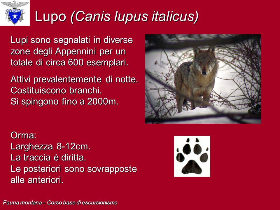 Lupo (Canis lupus italicus) Lupi sono segnalati in diverse zone degli Appennini per un totale di circa 600 esemplari. Attivi prevalentemente di notte.