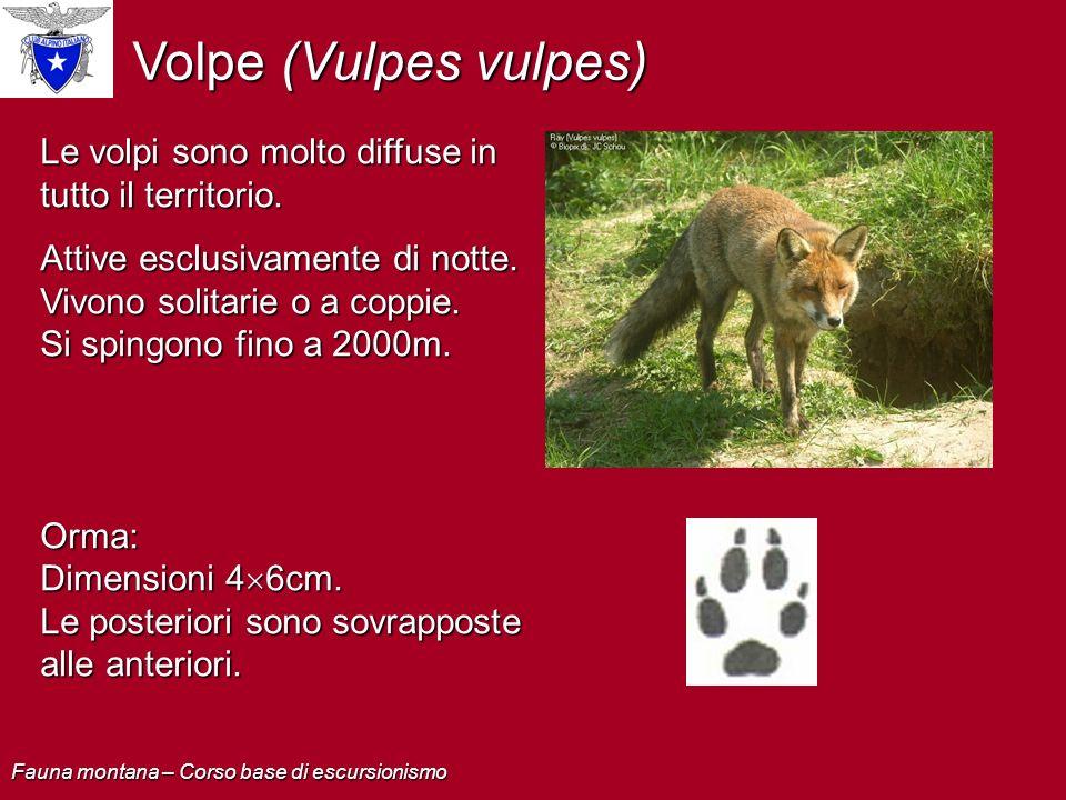 Volpe (Vulpes vulpes) Le volpi sono molto diffuse in tutto il territorio. Attive esclusivamente di notte. Vivono solitarie o a coppie. Si spingono fin