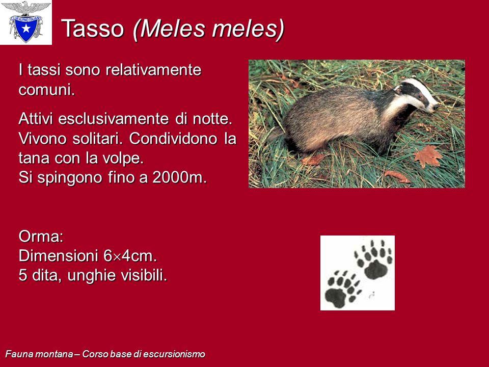 Tasso (Meles meles) I tassi sono relativamente comuni. Attivi esclusivamente di notte. Vivono solitari. Condividono la tana con la volpe. Si spingono