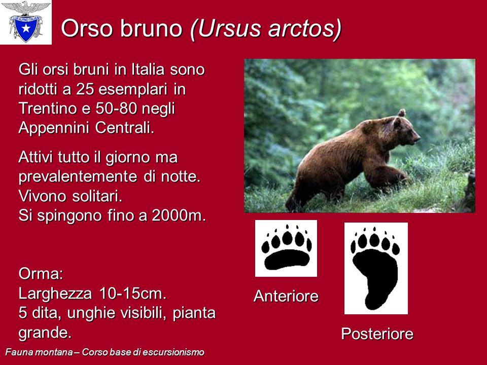 Orso bruno (Ursus arctos) Gli orsi bruni in Italia sono ridotti a 25 esemplari in Trentino e 50-80 negli Appennini Centrali. Attivi tutto il giorno ma