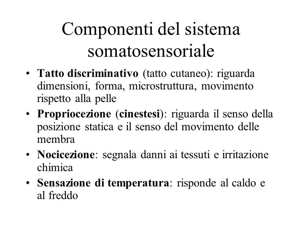 Componenti del sistema somatosensoriale Tatto discriminativo (tatto cutaneo): riguarda dimensioni, forma, microstruttura, movimento rispetto alla pell