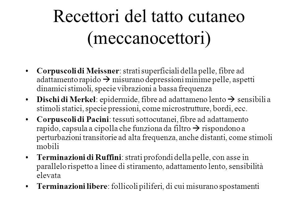 Recettori del tatto cutaneo (meccanocettori) Corpuscoli di Meissner: strati superficiali della pelle, fibre ad adattamento rapido misurano depressioni