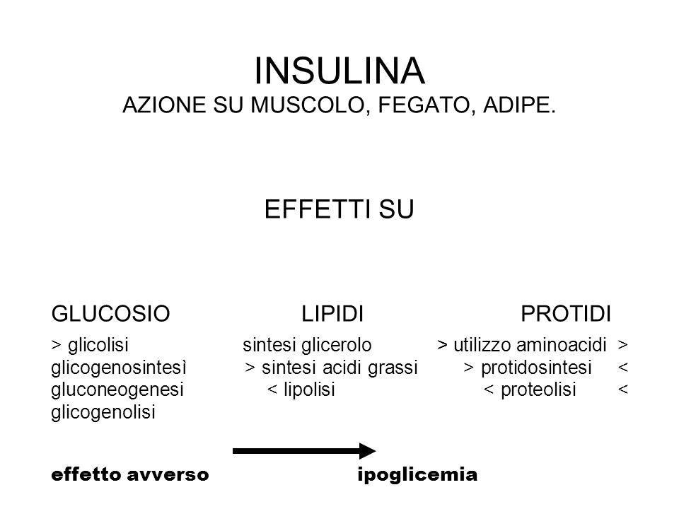 INSULINA AZIONE SU MUSCOLO, FEGATO, ADIPE. EFFETTI SU GLUCOSIO LIPIDI PROTIDI > glicolisi sintesi glicerolo > utilizzo aminoacidi > glicogenosintesì >