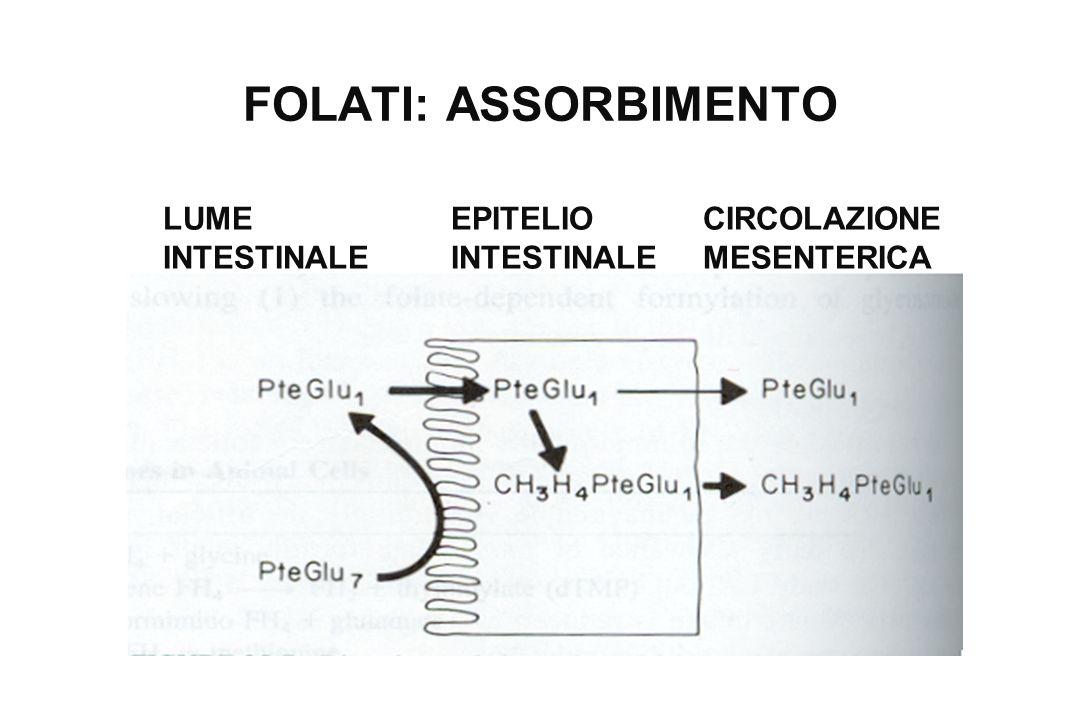 FOLATI: ASSORBIMENTO LUME INTESTINALE EPITELIO INTESTINALE CIRCOLAZIONE MESENTERICA