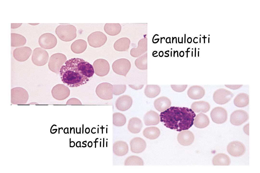 Granulociti eosinofili Granulociti basofili