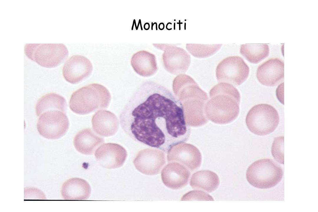 Monociti