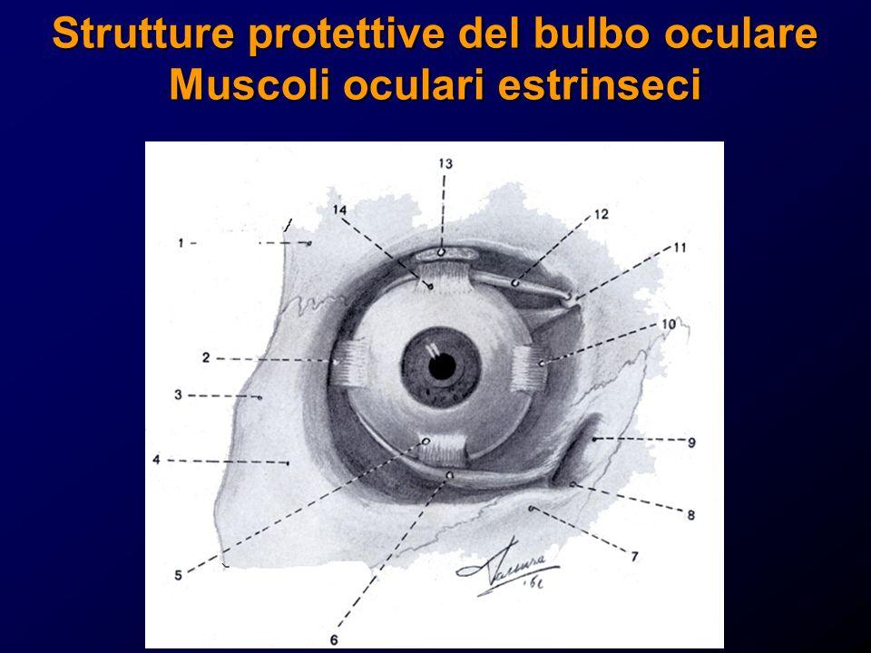 Strutture protettive del bulbo oculare Muscoli oculari estrinseci