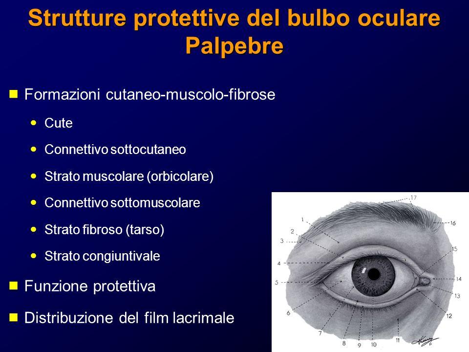 Strutture protettive del bulbo oculare Palpebre Formazioni cutaneo-muscolo-fibrose Cute Connettivo sottocutaneo Strato muscolare (orbicolare) Connetti