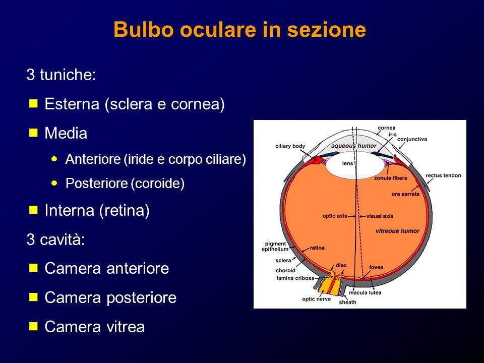Bulbo oculare in sezione 3 tuniche: Esterna (sclera e cornea) Media Anteriore (iride e corpo ciliare) Posteriore (coroide) Interna (retina) 3 cavità:
