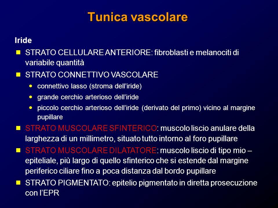 Tunica vascolare Iride STRATO CELLULARE ANTERIORE: fibroblasti e melanociti di variabile quantità STRATO CONNETTIVO VASCOLARE connettivo lasso (stroma