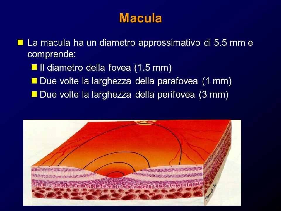 Macula La macula ha un diametro approssimativo di 5.5 mm e comprende: Il diametro della fovea (1.5 mm) Due volte la larghezza della parafovea (1 mm) D