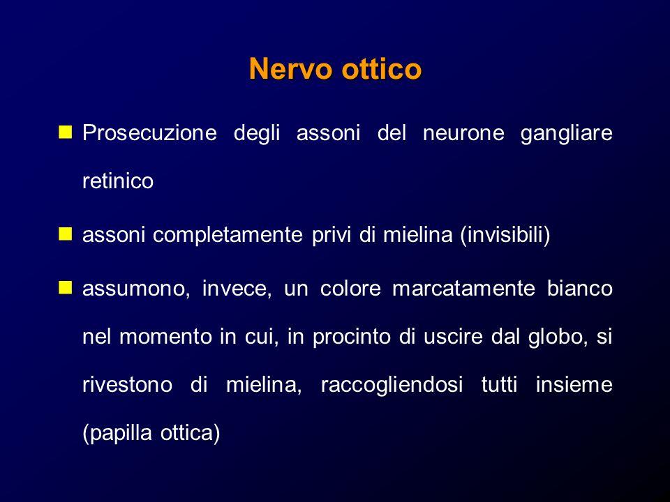 Nervo ottico Prosecuzione degli assoni del neurone gangliare retinico assoni completamente privi di mielina (invisibili) assumono, invece, un colore m