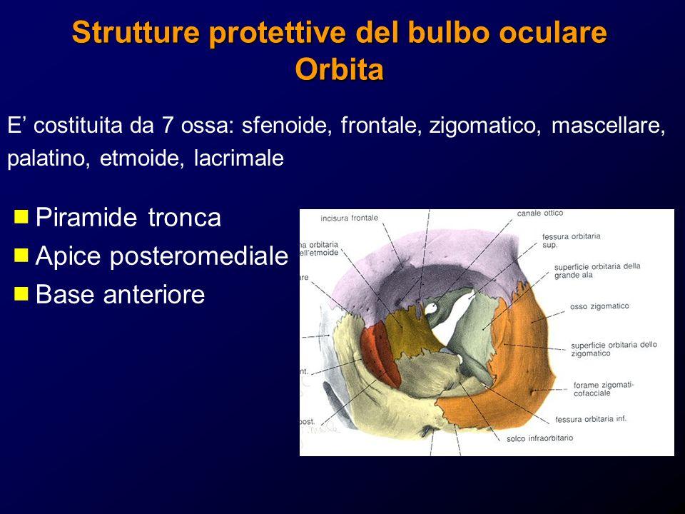 Strutture protettive del bulbo oculare Orbita E costituita da 7 ossa: sfenoide, frontale, zigomatico, mascellare, palatino, etmoide, lacrimale Piramid