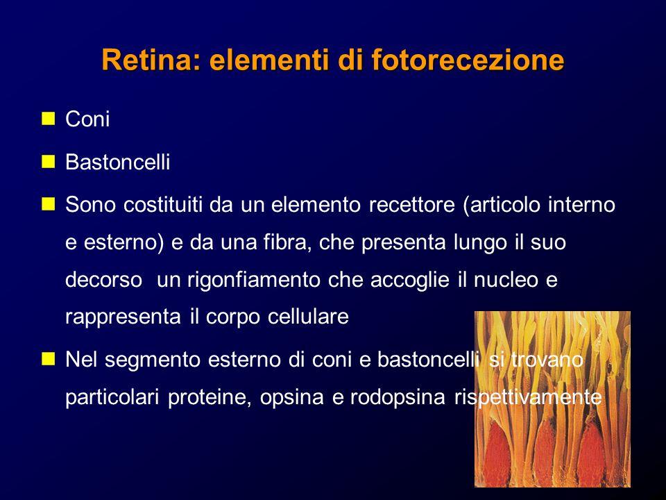 Retina: elementi di fotorecezione Coni Bastoncelli Sono costituiti da un elemento recettore (articolo interno e esterno) e da una fibra, che presenta lungo il suo decorso un rigonfiamento che accoglie il nucleo e rappresenta il corpo cellulare Nel segmento esterno di coni e bastoncelli si trovano particolari proteine, opsina e rodopsina rispettivamente