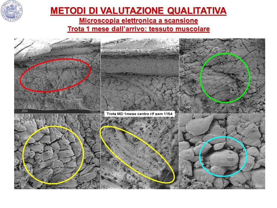 METODI DI VALUTAZIONE QUALITATIVA Microscopia elettronica a scansione Trota 1 mese dallarrivo: tessuto muscolare