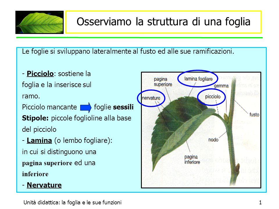 Unità didattica: la foglia e le sue funzioni1 Osserviamo la struttura di una foglia Le foglie si sviluppano lateralmente al fusto ed alle sue ramificazioni.
