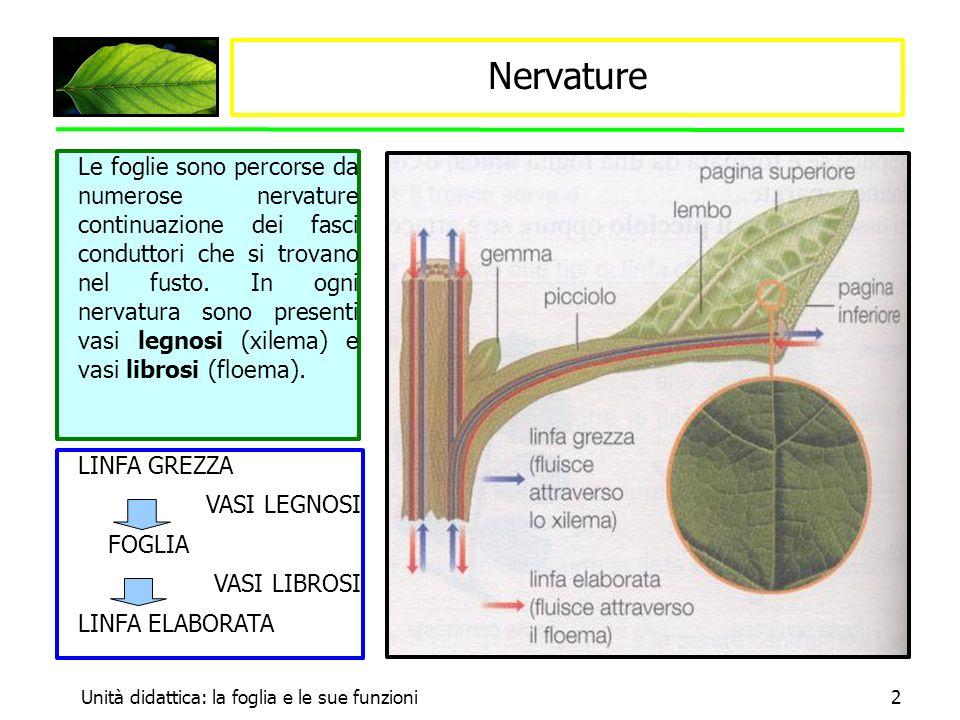 Unità didattica: la foglia e le sue funzioni2 Nervature Le foglie sono percorse da numerose nervature continuazione dei fasci conduttori che si trovan