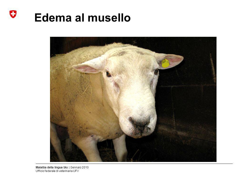 Malattia della lingua blu | Gennaio 2010 Ufficio federale di veterinaria UFV Edema al musello