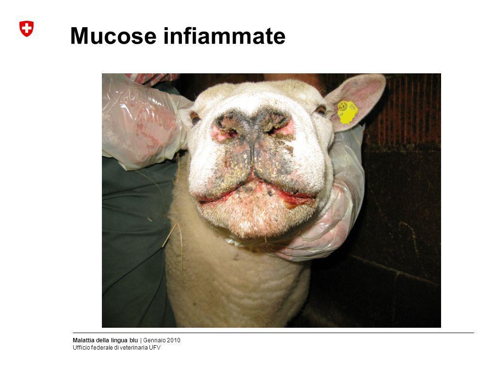 Malattia della lingua blu | Gennaio 2010 Ufficio federale di veterinaria UFV Mucose infiammate