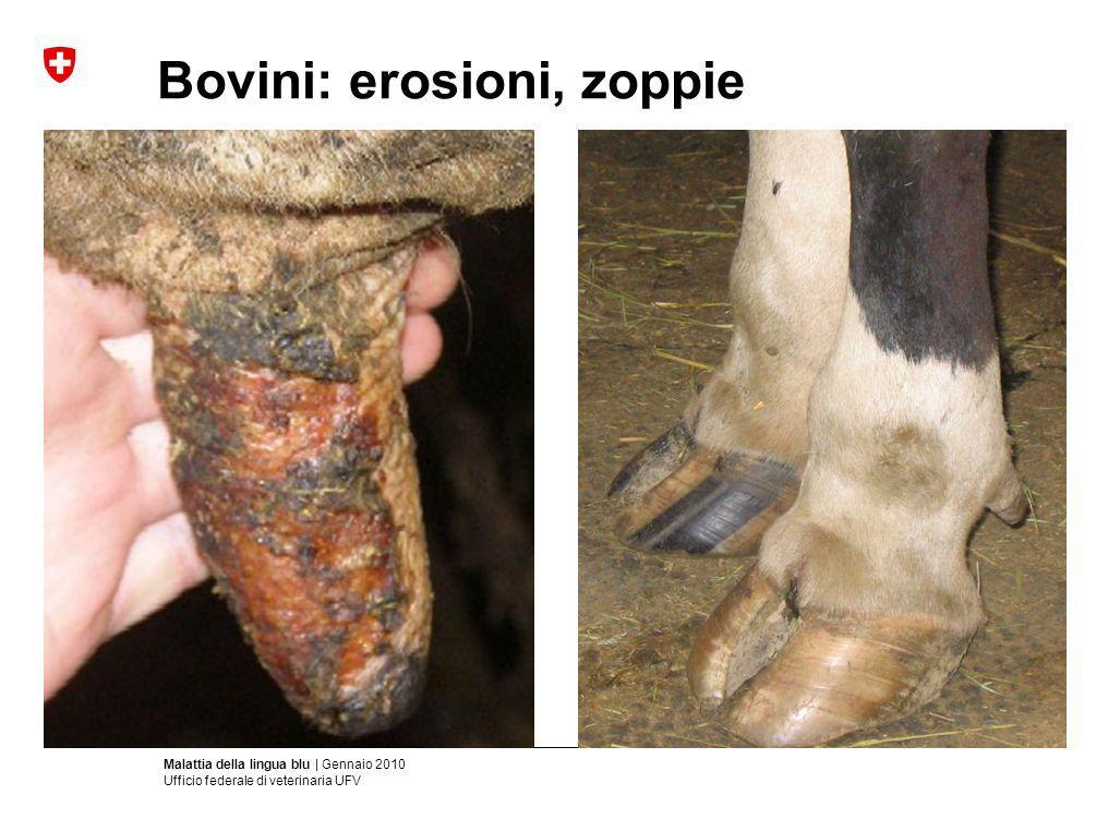 Malattia della lingua blu | Gennaio 2010 Ufficio federale di veterinaria UFV Bovini: erosioni, zoppie