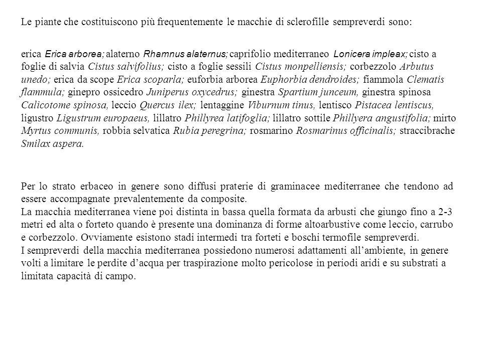 Le piante che costituiscono più frequentemente le macchie di sclerofille sempreverdi sono: erica Erica arborea; alaterno Rhamnus alaternus; caprifolio