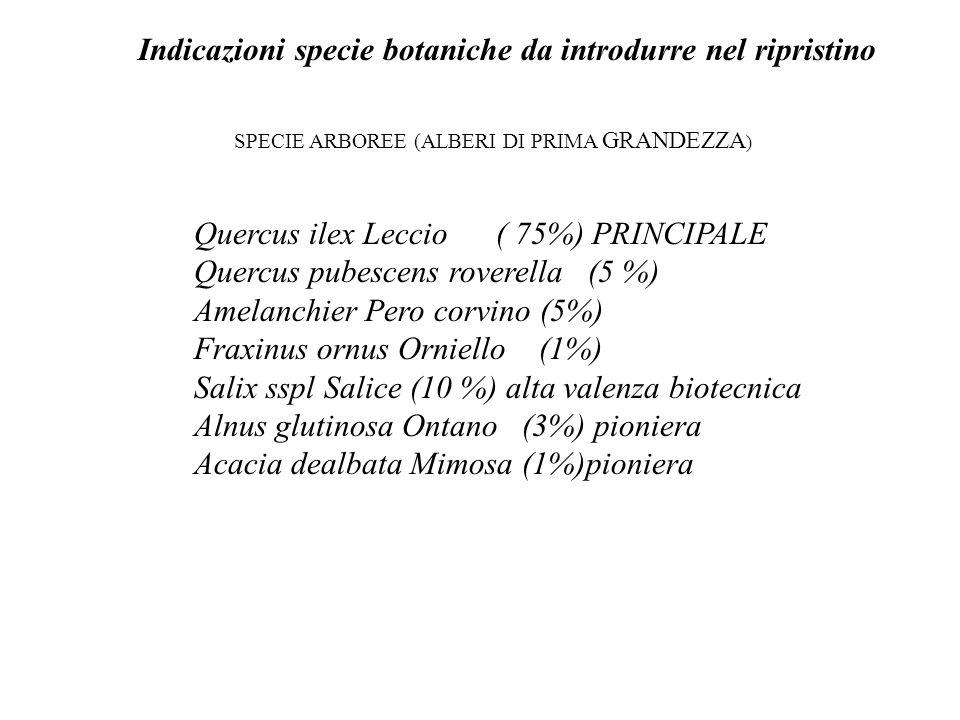 Indicazioni specie botaniche da introdurre nel ripristino SPECIE ARBOREE (ALBERI DI PRIMA GRANDEZZA ) Quercus ilex Leccio ( 75%) PRINCIPALE Quercus pu