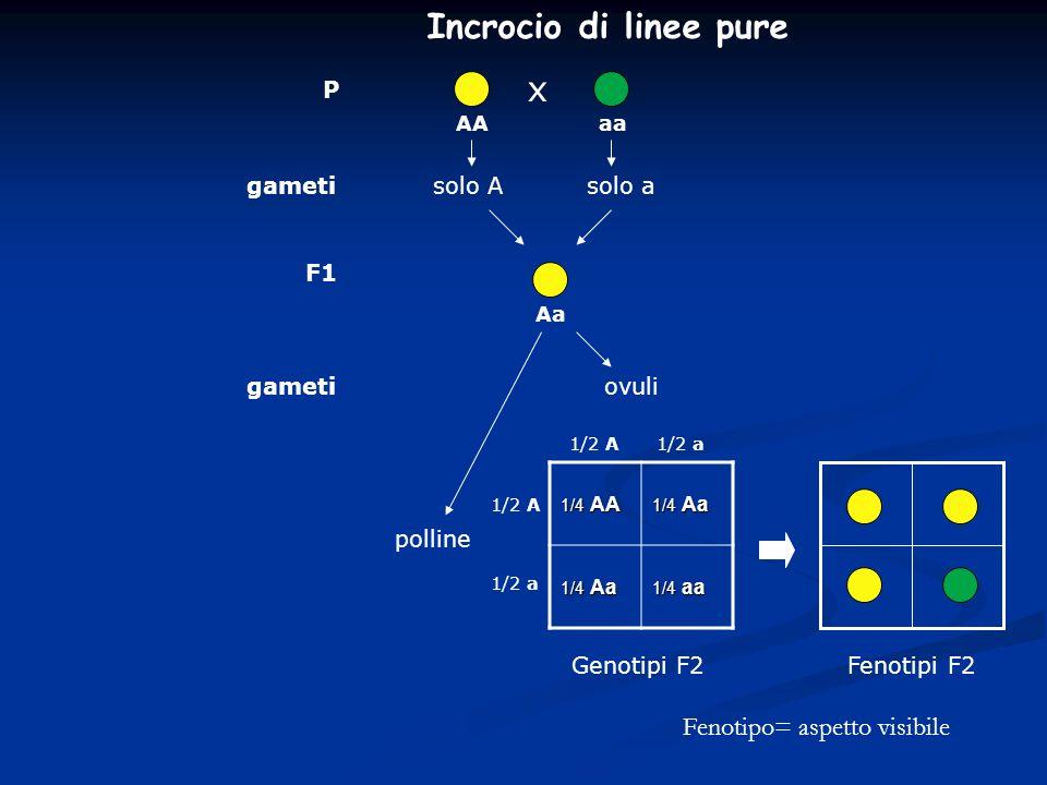 x P AA F1 Genotipi F2 aaAa gametisolo Asolo a gametiovuli polline 1/4 AA 1/4 Aa 1/4 aa 1/2 A 1/2 a 1/2 A1/2 a Fenotipi F2 Incrocio di linee pure Fenot