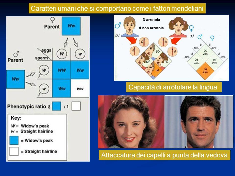 Caratteri umani che si comportano come i fattori mendeliani Capacità di arrotolare la lingua Attaccatura dei capelli a punta della vedova