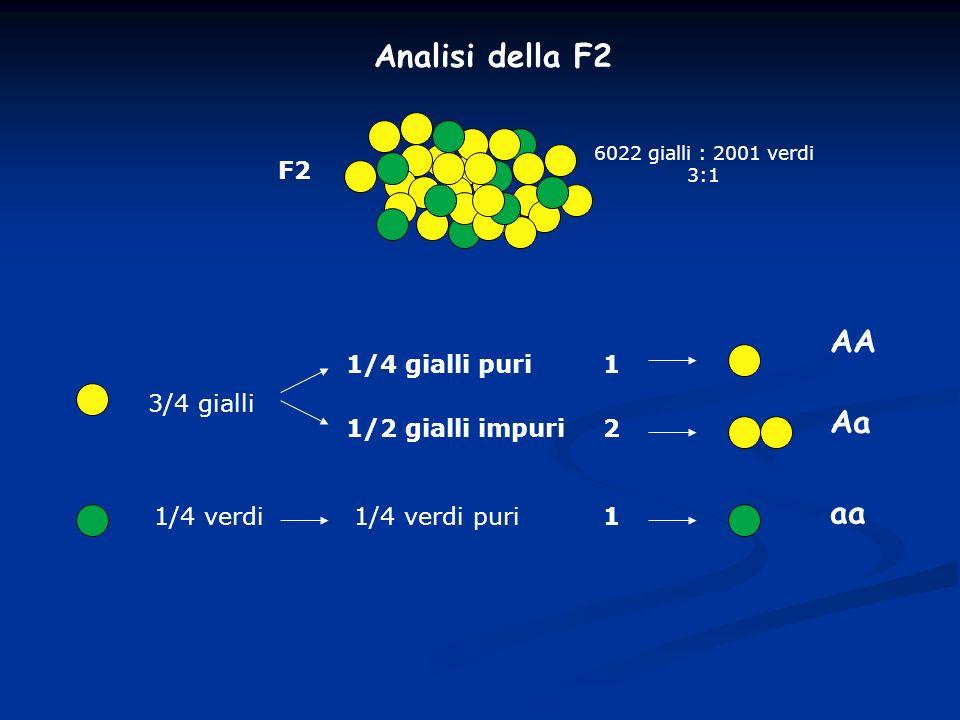 Analisi della F2 F2 6022 gialli : 2001 verdi 3:1 3/4 gialli 1/2 gialli impuri 1/4 gialli puri 1/4 verdi1/4 verdi puri 2 1 1 AA Aa aa
