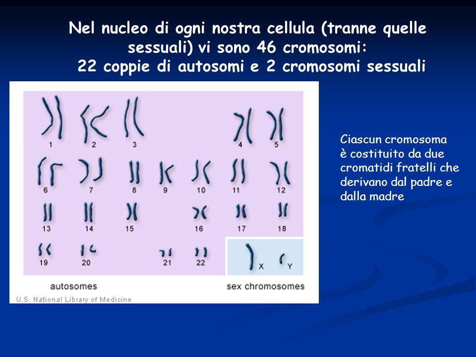 Nel nucleo di ogni nostra cellula (tranne quelle sessuali) vi sono 46 cromosomi: 22 coppie di autosomi e 2 cromosomi sessuali Ciascun cromosoma è cost