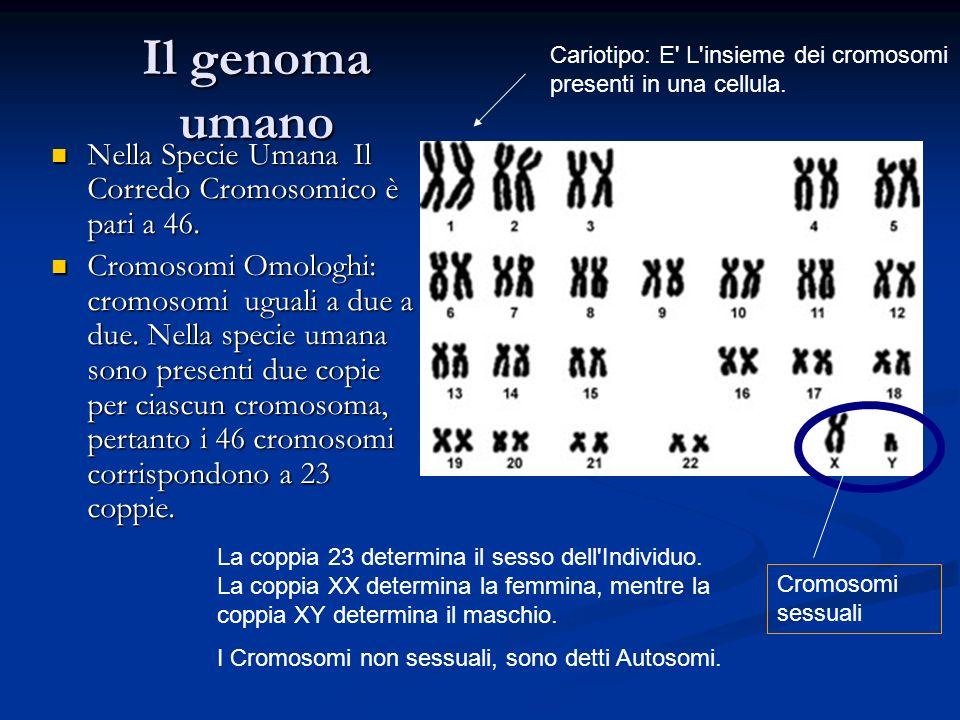 Il genoma umano Nella Specie Umana Il Corredo Cromosomico è pari a 46. Nella Specie Umana Il Corredo Cromosomico è pari a 46. Cromosomi Omologhi: crom