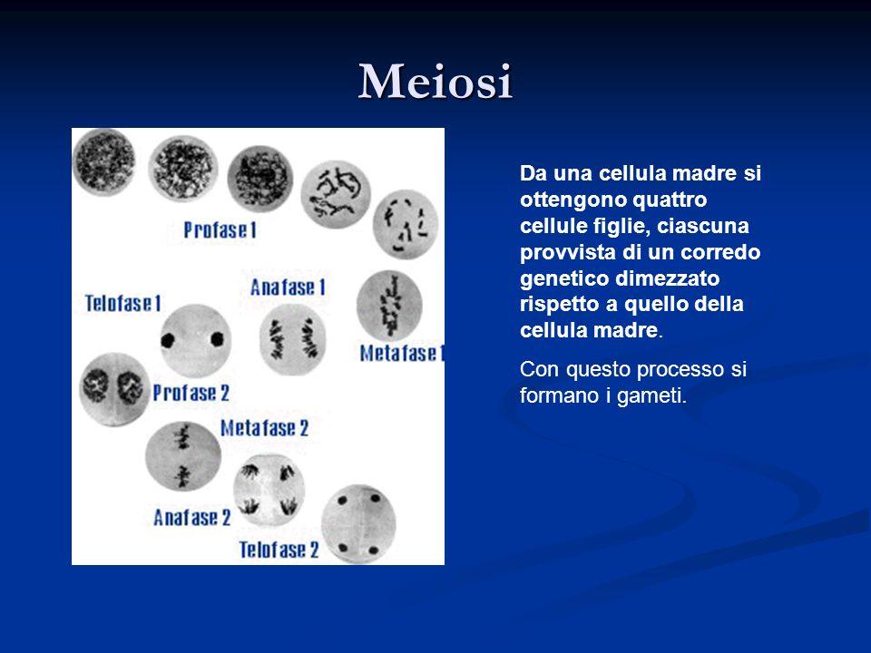 Meiosi Da una cellula madre si ottengono quattro cellule figlie, ciascuna provvista di un corredo genetico dimezzato rispetto a quello della cellula m